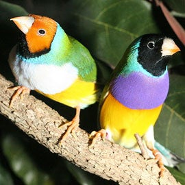 male finches can stress out females if incompatible