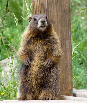 marmot that has gotten bigger with climate change, longer summers