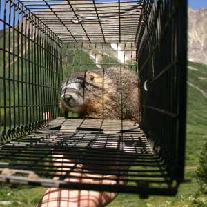 marmot trapped for study of climate change effects on body size