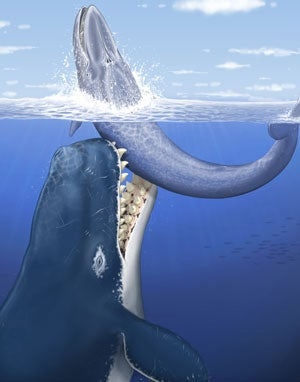 new fossil of giant sperm whale named for Herman Melville attacking a baleen whale