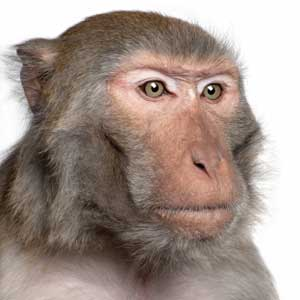monkey primate math rule brain neuron