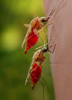 ...формы переносчика африканской малярии- комары, кусающие человека.