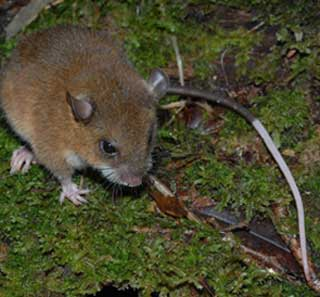 new mouse genus discovered in new guinea