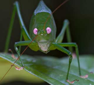 new guinea species discovery katydid