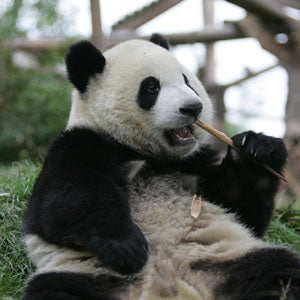 giant panda genome sequence