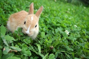 rabbit-in-clover