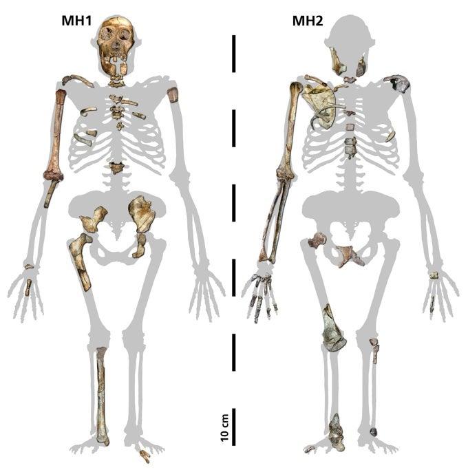 sediba_skeletons(1).jpg