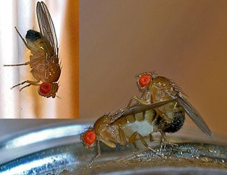 sexual selection male flies