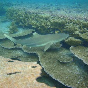blacktip reef shark in habitat