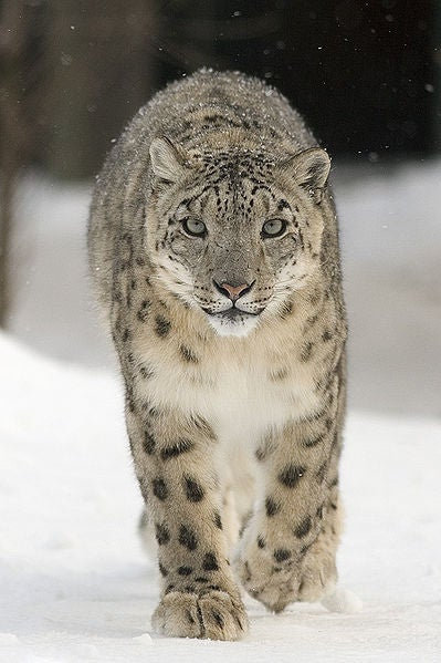 afghanistan, snow leopard