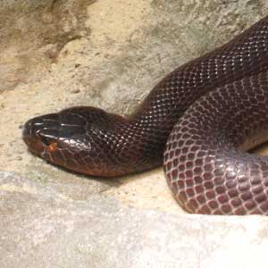 spitting cobra defend venom anticipate