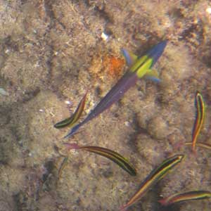 colorful fish wrasse sea of cortez stanford biology cruise gilly