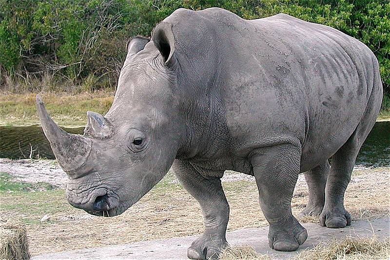 http://blogs.scientificamerican.com/media/inline/blog/Image/white_rhino.jpg