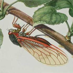 citizen science, cicada, locust, biology
