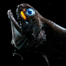 SCARLET SNIPER SCOPE: The scaleless dragonfish (Pachystomias microdon) uses red bioluminescence like a sniper scope to hunt its prey. Image: Edith Widder