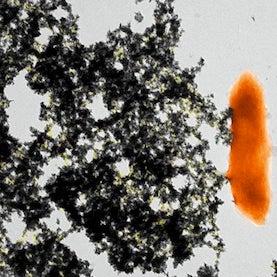 bacterial filaments precipitate uranium
