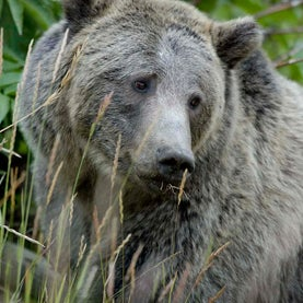 Endangered Species Act, U.S. Fish & Wildlife Service, Yellowstone Grizzly Bear