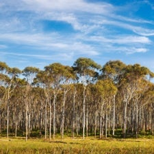PINE GONE: Native pine trees could be sent to pasture in place of eucalyptus, pictured here. ISTOCK / MALIKETH