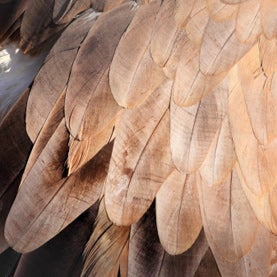 feathers, vulture feathers