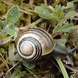 snail,citizen science,evolution