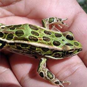 citizen science, Canada,frog,amphibian,conservation