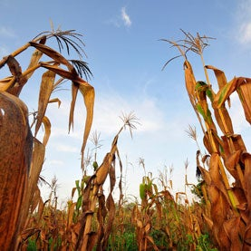 Failed maize crops in Ghana's Upper West Region