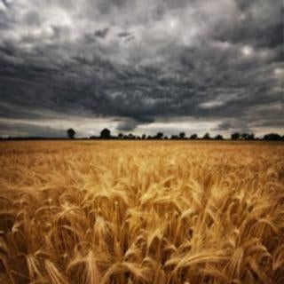 wheat_field