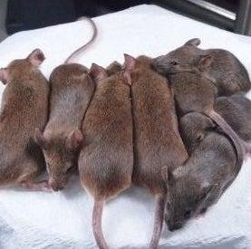 immortal-line-of-cloned-mice_1.jpg
