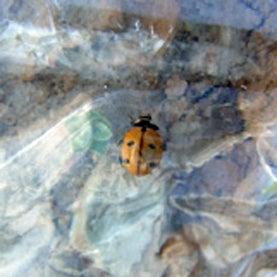 entomology,ladybug