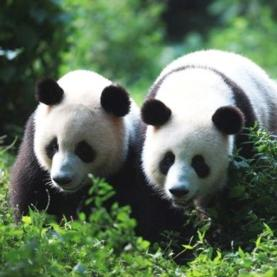 In the Heat for a Moment: The Male Giant Panda's Sex Drive Fluctuates to ...
