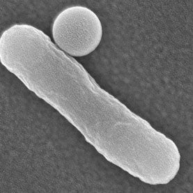 e.coli, microbes, transport drugs