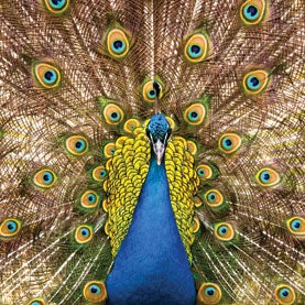 nanotechnology, Nature's Color Tricks, peacock, animal colors, Photonics