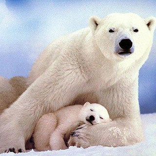 Polar bear ecology as impacted by