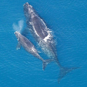 right-whale-and-calf