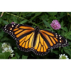 butterfly,monarch,citizen science