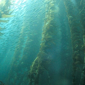 Kelp off southern California was contaminated with short-lived radioisotopes a month after the multiple meltdowns in Japan
