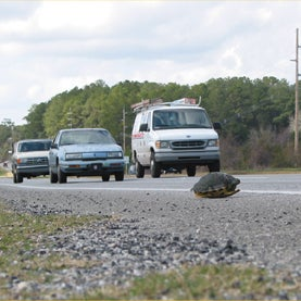 turtle-on-florida-highway