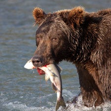 grizzly-with-salmon