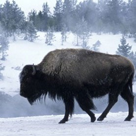 Yellowstone Buffalo in winter