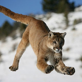 asian animals of puma lion jumping information