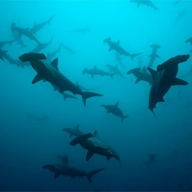 species, new shark species, hammerheads,