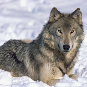 wolves, northern rocky mountains,