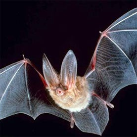 bat,language,linguistics,climate change