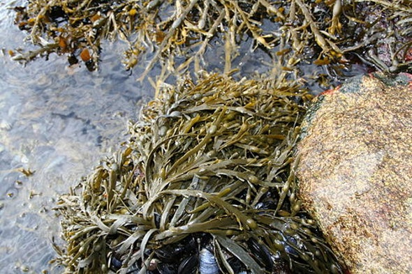 Help for Kelp—Seaweed Slashers See Harvesting Cuts Coming