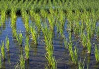 Rice Paddy Methane Emissions Depend on Crops' Success