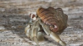 Intimate Hermit Crab Keeps Shell On
