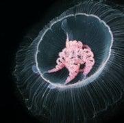 How Jellyfish Became the Ocean's Most Efficient Swimmers