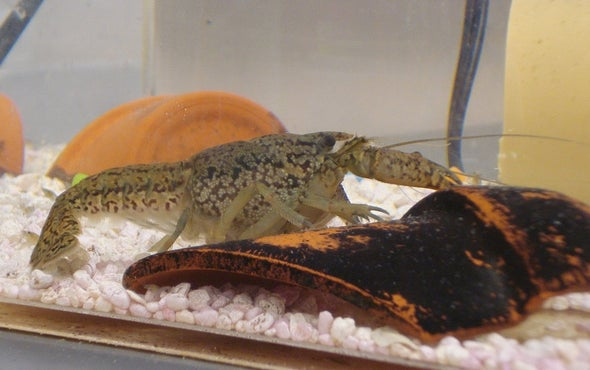 遗传学家揭开超级小龙虾的秘密