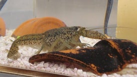 Geneticists Unravel Secrets of Super-Invasive Crayfish