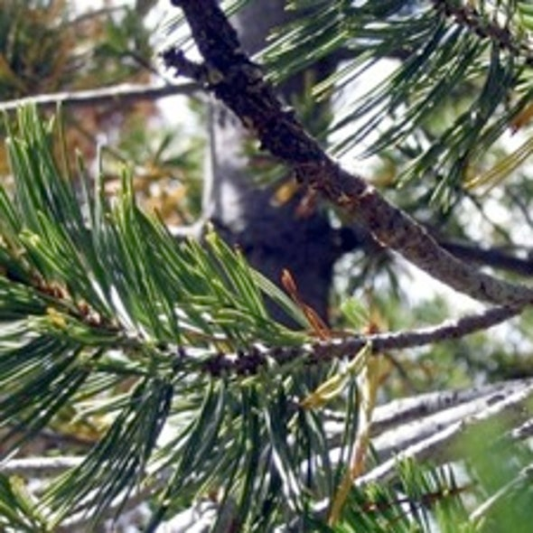 Environmentalists Sue to Declare Whitebark Pine Endangered